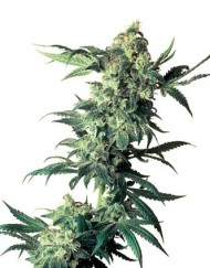Northern Lights (Sensi Seeds), 10 regular Samen