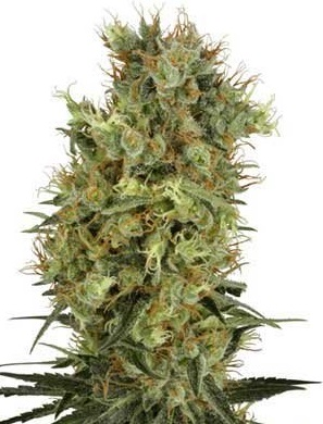 Californian Orange Bud (White Label), 10 regular Samen