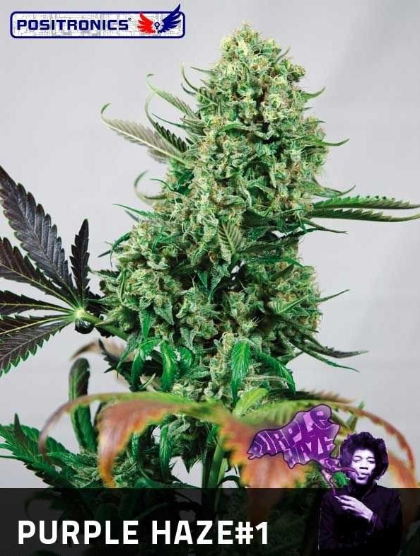 Purple Haze #1 (Positronics), feminisierte Samen