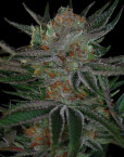 Qush (TGA Subcool), 5 oder 10 regular Seeds