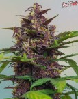 Red Poison Automatic (Sweet Seeds), autoflowering Samen