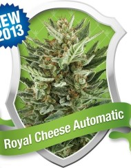 Royal Cheese Automatic (Royal Queen Seeds), 5 autoflowering Samen