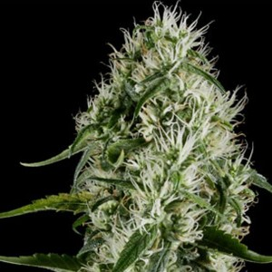 Silver Haze #9 (Sensi Seeds) 5 feminisierte Samen