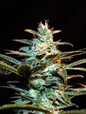 Ice Cool (Sweet Seeds) - feminisierte Samen
