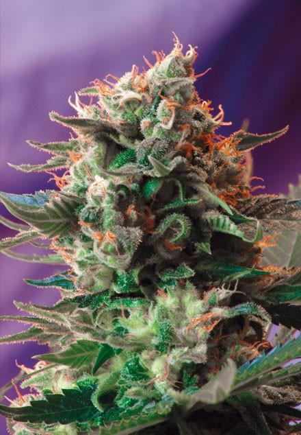 Jack 47 (Sweet Seeds) - feminisierte Samen