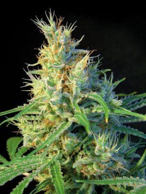 Psicodelicia (Sweet Seeds), feminisierte Samen