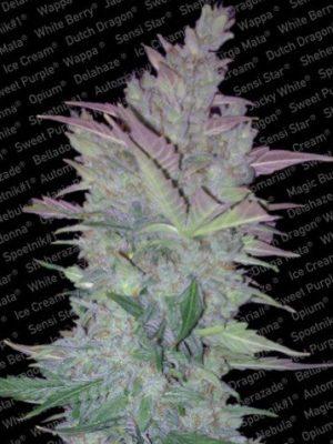 Vertigo Auto (Paradise Seeds), autoflowering Samen