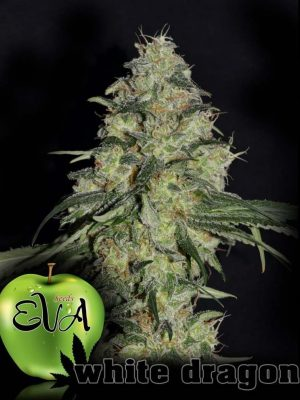 White Dragon (Eva Seeds), 3 feminisierte Samen