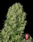 White Russian (Serious Seeds) feminisiert oder regular