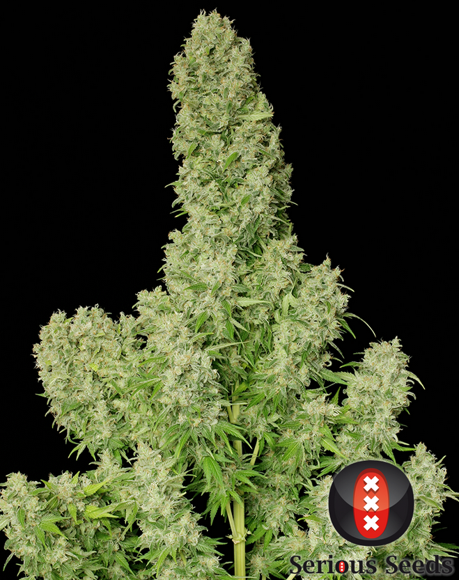 White Russian (Serious Seeds) feminisiert oder regular