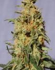 White Domina (Kannabia), 5 feminisierte Samen