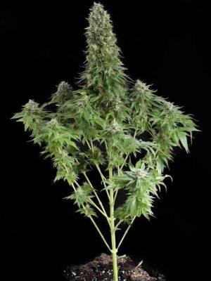 White Siberian (Dinafem), feminisierte Samen