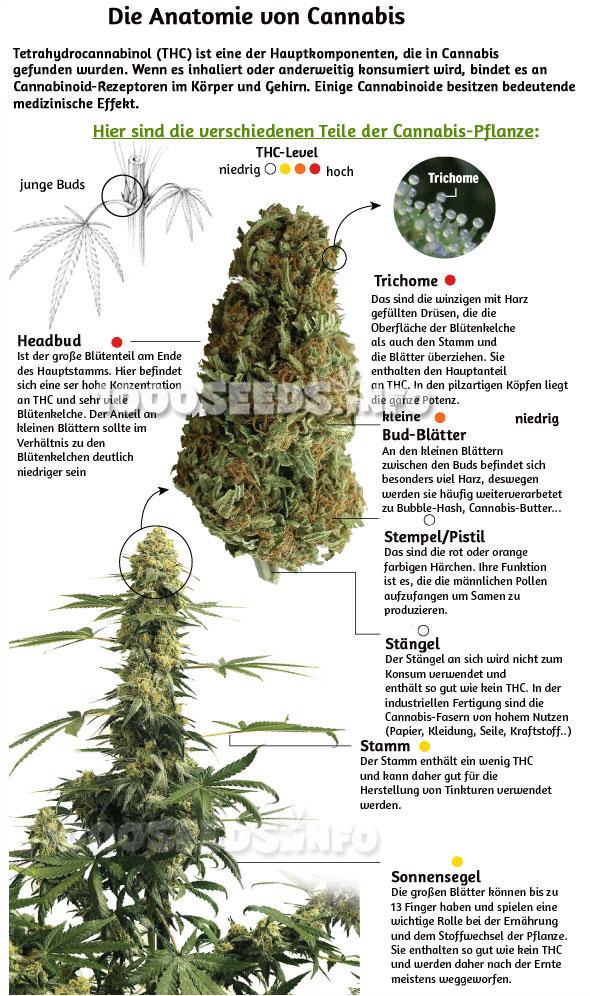 Die Anatomie von Cannabis