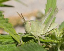 Grasshopper-Cannabis, Ungeziefer kontrollieren und bekämpfen