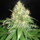 Northern Lights Blue, Delicious Seeds