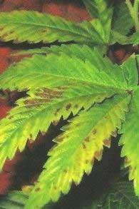 Phosphor-Mangel, Mangelerscheinungen Cannabis