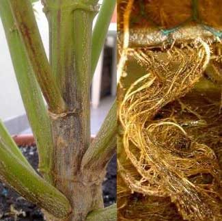 Phythium - Wurzelfäule Cannabis