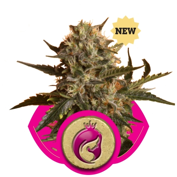 Royal Madre von Royal Queen Seeds