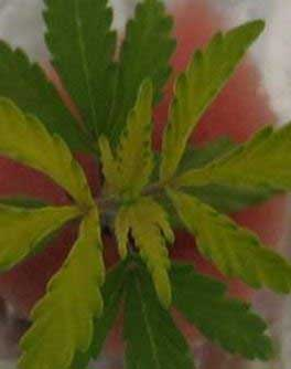 Schwefel-Magel bei Cannabis