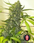 Serious Happiness von Serious Seeds