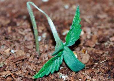 Umfallkrankheit Cannabispflanzen, Grow-Tipps, Cannabisanbau Probleme