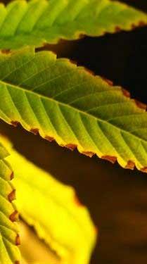 Verbrennung-Cannabispflanze, Probleme beim Grow