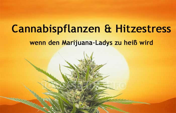 hitzestress bei Cannabis