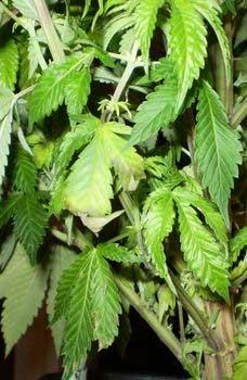 zu viel Wasser beim Cannabis Grow