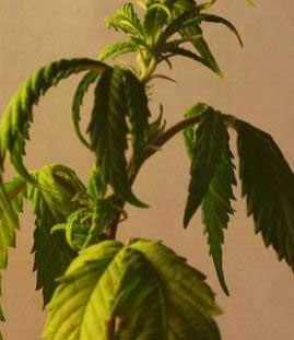zu wenig Wasser Cannabis, Growtipps