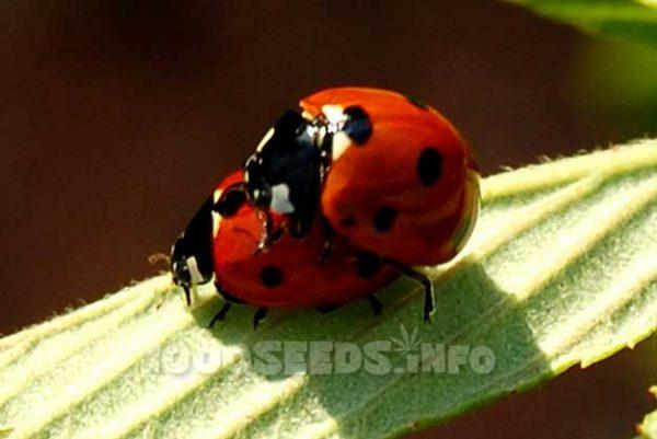 Ladybug, Vermehrung, Grow