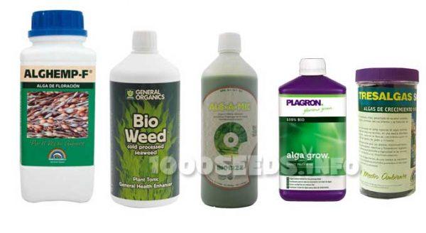 algen Cannabisanbau