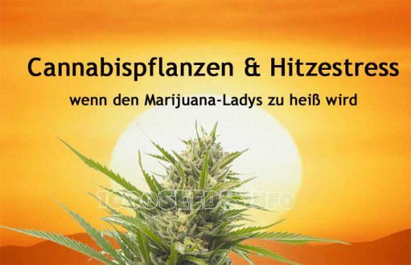 hitzestress-Cannabispflanze