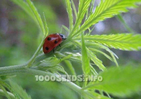 ladybug-cannabis-grow