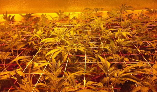 SCROG-Grow Cannabis