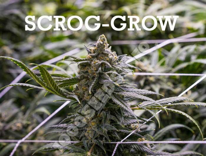scrog-Grow