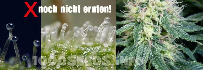 Erntezeitpunkt-Cannabis