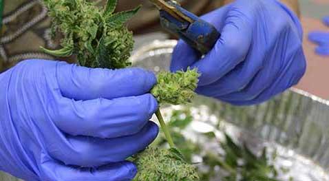 trimmen Marijuana
