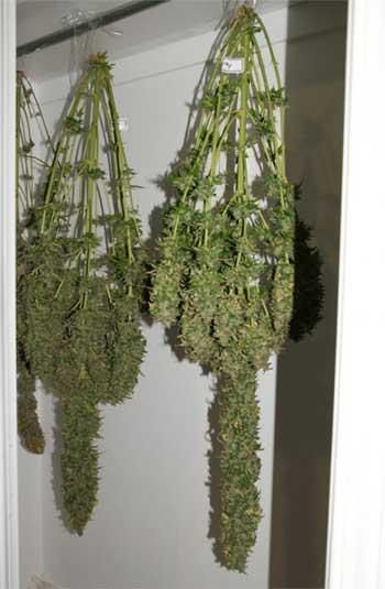 Cannabispflanzen erten