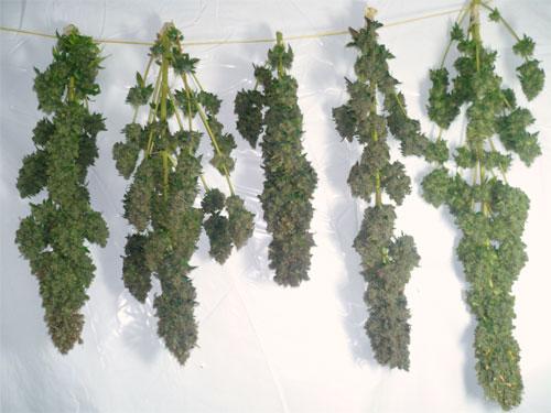 Cannabis-trocknen4