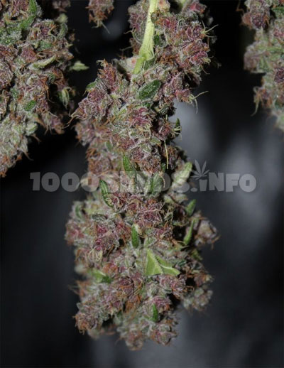 Trocknungsprozess-Cannabis
