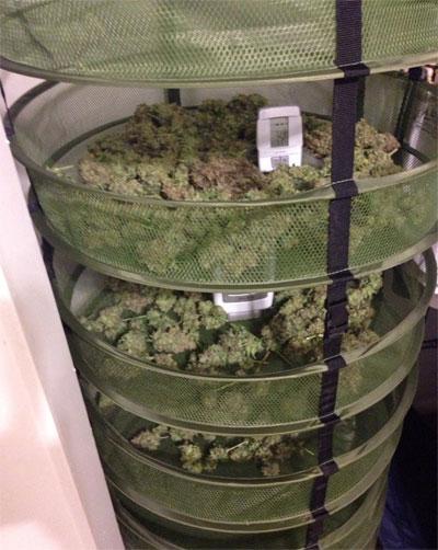 cannabis-trocknen2