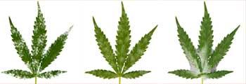Cannabis Nährstoffmangel