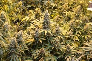 Cannabis-anbauen