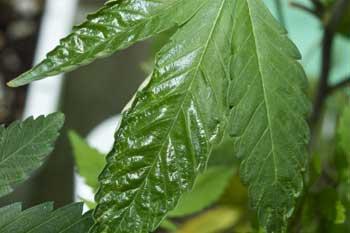 Cannabisanbau-Probleme