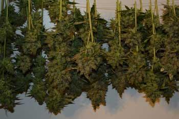 Marijuana richtig ernten