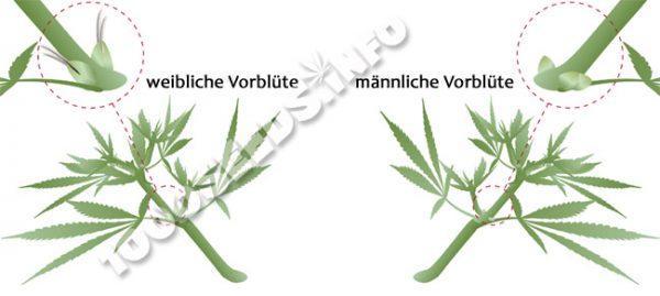 Preflower-Cannabis