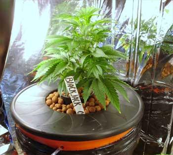 Hydroanbau Cannabis, Grow-tipps