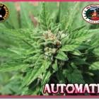 Automatic von Big Buddha Seeds