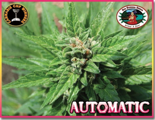 Automatic von Big Buddha Seeds