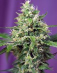 BLOW MIND AUTO von SWEET SEEDS